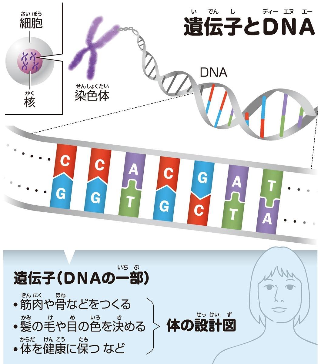 遺伝子(いでんし)とDNA(ディーエヌエー)
