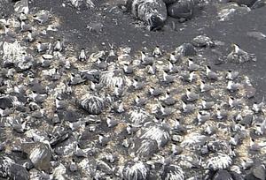 海岸近くに集まって繁殖するオオアジサシ=2018年6月5日午後2時17分、東京・小笠原諸島の西之島、朝日新聞社機から、恵原弘太郎撮影