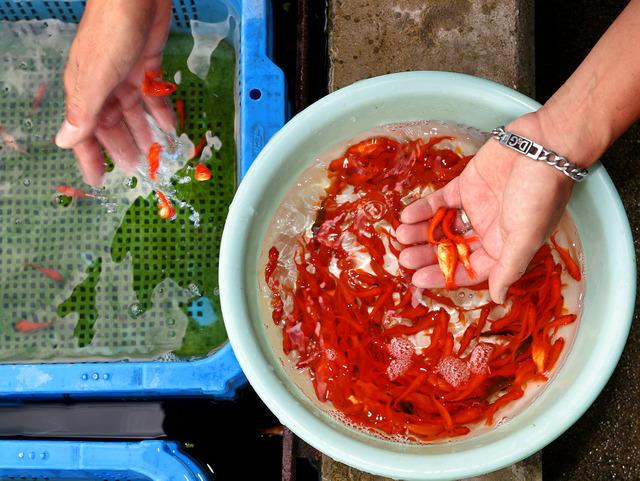 何げなくすくっているようにみえて、両手で金魚10匹を数えているという、西脇高広さんの「神の手」=奈良県大和郡山市、滝沢美穂子撮影