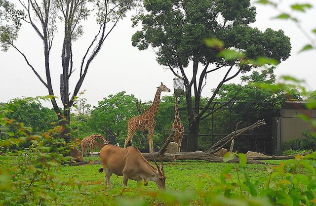 「アフリカのサバンナ」は日本初の草食動物と肉食動物の混合展示。キリンやエランドがゆったりと草をはむ。