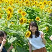 夏色10万本、鮮やか 神奈川・座間「ひまわりまつり」