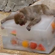 サルも「涼」満喫 動物園で果物入り氷プレゼント 福岡
