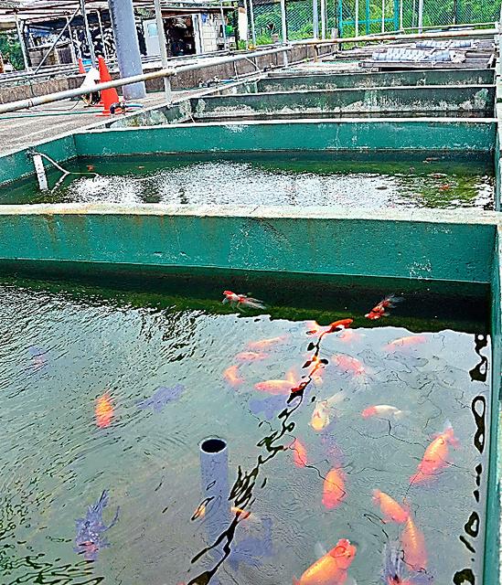 池の中で数多くの金魚が泳ぐ様子を間近に見ることができる