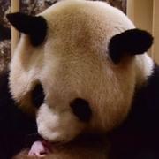 ジャイアントパンダの赤ちゃん誕生 世界最高齢パパ記録