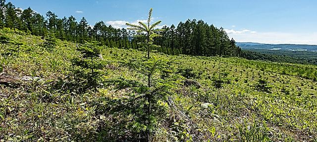 伐採が終わった土地に植えられたトドマツ=北海道下川町