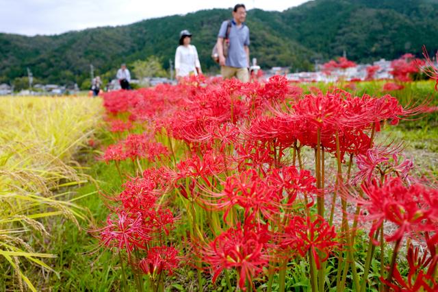 稲刈り間際の田んぼのあぜ道に咲いたヒガンバナを楽しむ人たち=23日午前11時25分、京都府亀岡市、矢木隆晴撮影