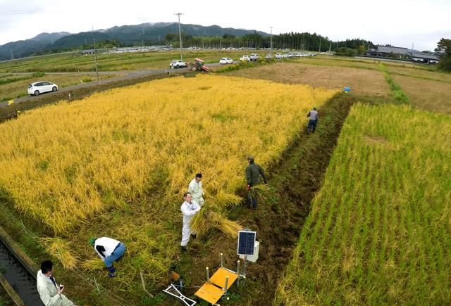 黄金色に染まった稲を町の農業委員会が中心となり刈り取った。もち米を植えた田んぼ(右)はイノシシに荒らされ収穫できたモミは少なかった=2018年10月19日午前、福島県大熊町の大川原地区、福留庸友撮影