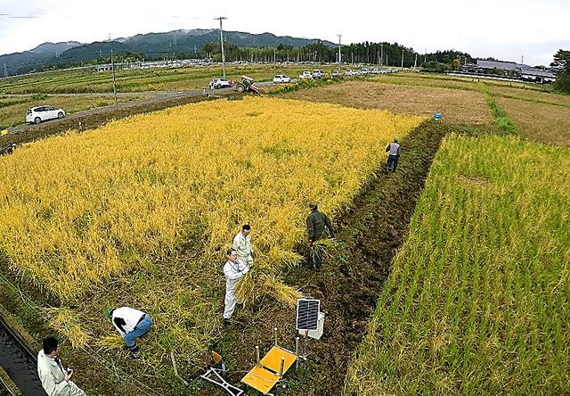 黄金色に染まった稲を町の農業委員会が中心となり刈り取った。もち米を植えた田んぼ(右)はイノシシに荒らされ収穫できたモミは少なかった=19日午前、福島県大熊町の大川原地区、福留庸友撮影