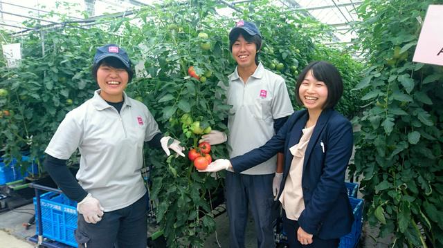 イオン久喜農場のトマトは赤く熟してから収穫・出荷する
