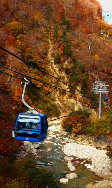 苗場スキー場で紅葉が最後の見頃を迎えている。ゴンドラから見える渓流やダム湖の景色も楽しみの一つ=5日、湯沢町三国