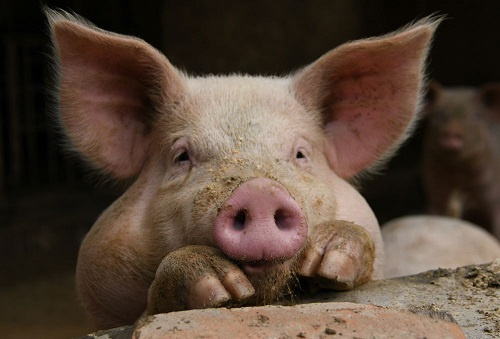 中国の養豚場で飼われている豚