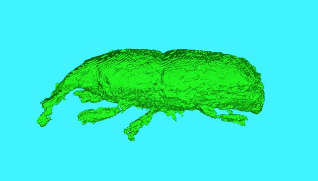 土器に閉じ込められたコクゾウムシの3D画像(小畑弘己教授提供)