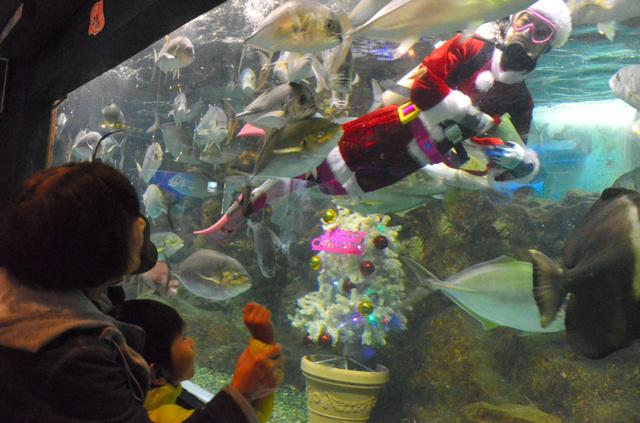 サンタダイバーによる餌づけショー=16日、長岡市の寺泊水族博物館