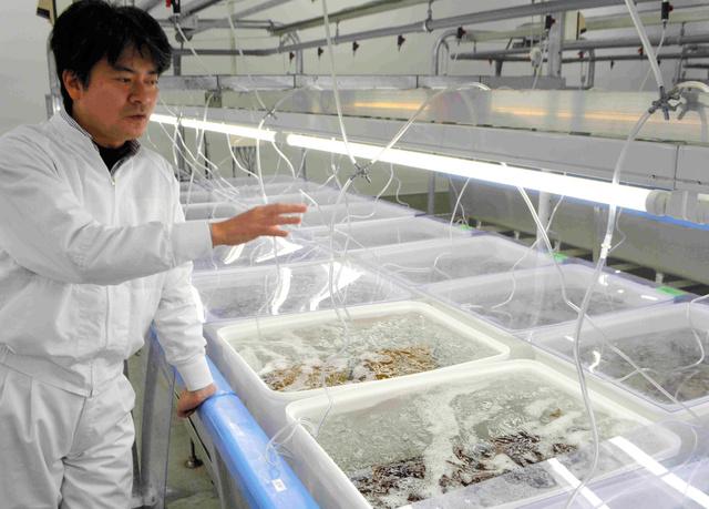 種苗生産装置の説明をする佐藤陽一さん。水槽内にはワカメの種を吹きつけた種糸が沈み、水温や光量も最適になるよう調節されている=宮城県名取市閖上の「ゆりあげファクトリー」