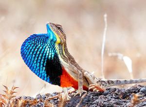 インドの風力発電周辺に生息するトカゲの一種(Abi Vanak氏提供)