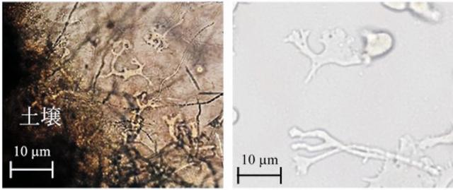 青森県の土壌を培養後、10日目に出現したバラムチア・マンドリラリス(左)と土壌から分離し、単独培養したバラムチア・マンドリラリス(弘前大学提供)