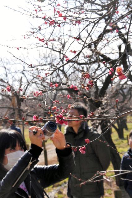 梅林を歩きながら、花の写真を撮る人たちもみられた=2019年2月16日午前11時9分、水戸市の偕楽園