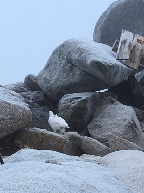 中央アルプス木曽駒ケ岳の中岳山頂で撮影されたライチョウ=2018年11月4日、登山者の中田昌宏さん撮影