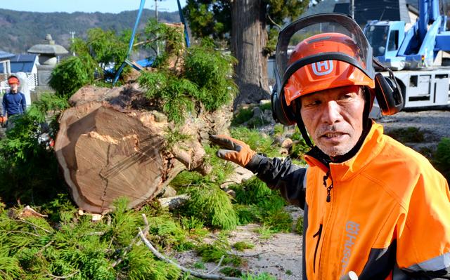 樹齢300年の杉の伐採作業をする芳賀正彦さん。切り株には大きな穴が開いていた=岩手県大槌町吉里吉里