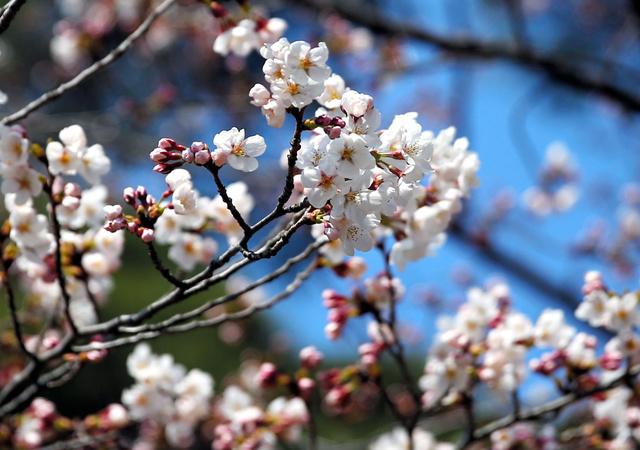 開花したソメイヨシノ=福島市の信夫山公園、三浦英之撮影