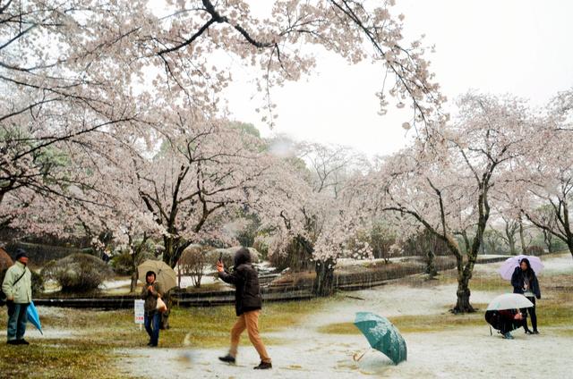 満開の桜と雪が降る景色を撮影する人たち=2019年4月10日、宇都宮市の八幡山公園
