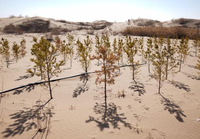 砂漠の一角で等間隔に植林された木=2019年3月11日、中国内モンゴル自治区のクブチ砂漠、竹花徹朗撮影