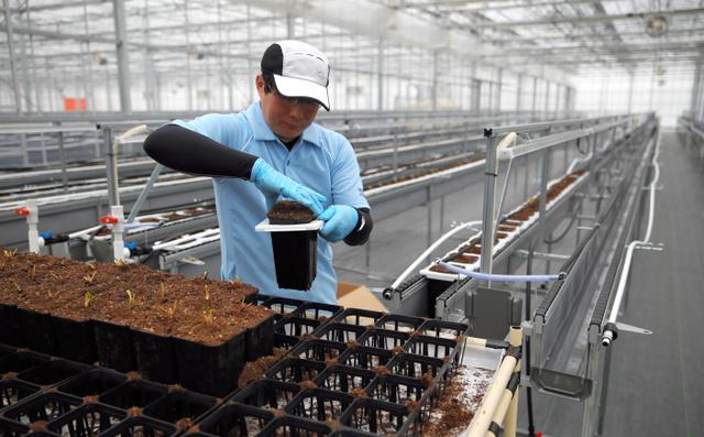 イチゴの苗を栽培設備に設置する従業員=大熊町大川原