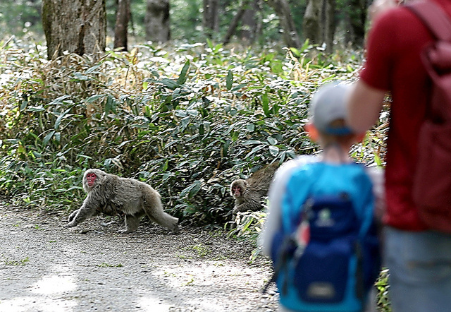遊歩道を散策する観光客たちのすぐそばを自由に行き来するニホンザル