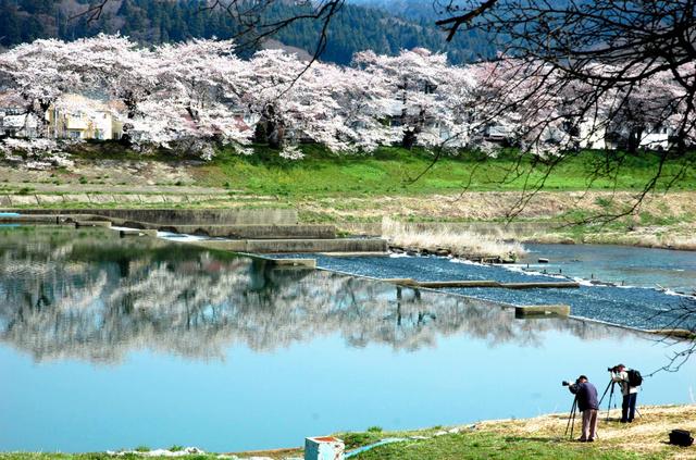 大河原町・白石川の一目千本桜=2010年4月20日