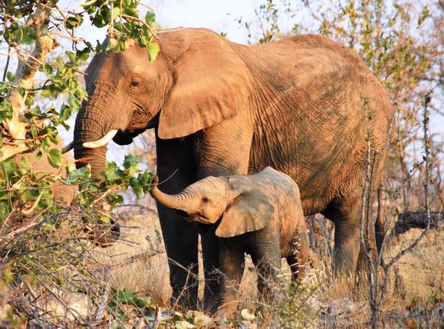 アフリカは自然の宝庫。南アフリカ東部にあるクルーガー国立公園で木の葉を食べていた親子ゾウ=2018年8月、石原孝撮影