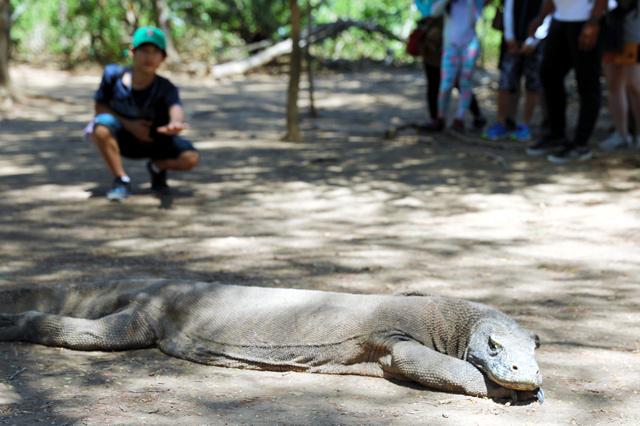 世界最大級のトカゲでインドネシア固有種のコモドドラゴン=8月20日、コモド島、野上英文撮影