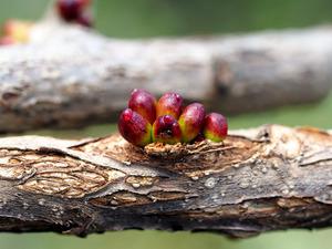ナラエダムレタマフシ(虫こぶ)。表面に蜜が出ている=井手竜也さん提供