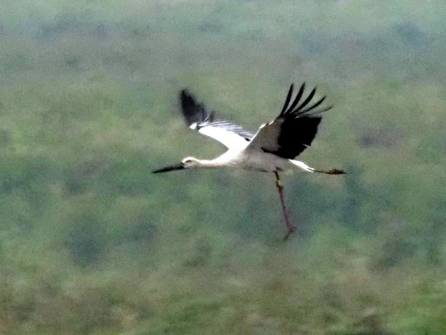 片脚が垂れ下がった状態で飛ぶコウノトリの歌=2020年9月26日午後5時24分、栃木県小山市下生井の渡良瀬遊水地、わたらせ未来基金・青木章彦さん撮影