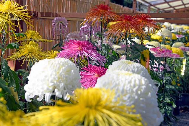 さまざまなキクの花が美しさを競った=2020年11月4日午前11時48分、栃木県佐野市金井上町、根岸敦生撮影