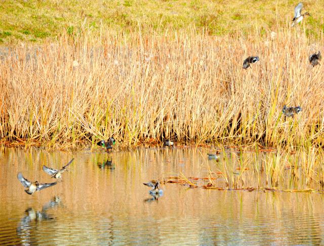 新たに調整池に住みついた水鳥たち=2020年11月19日午後1時54分、宮城県岩沼市玉浦西、石橋英昭撮影