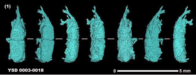 X線CTに映し出されたコクゾウムシの痕跡。同じ個体を様々な角度から撮影している=小畑弘己教授提供