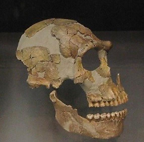 ネアンデルタール人の頭蓋骨(ずがいこつ)=沖縄科学技術大学院大提供、leted撮影