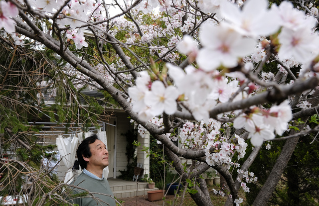 自宅の庭に咲く「さくら」の桜を見つめる石井伸郎さん=2021年4月3日午前、兵庫県三木市、細川卓撮影