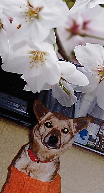石井伸郎さんの自宅の庭に咲く桜と「さくら」の写真