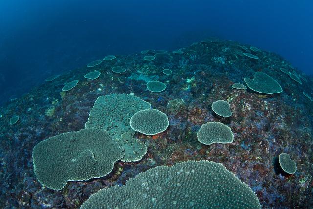 伊豆大島のサンゴ。近年数や大きさが増え、漁網に引っかかることもあるという=2021年2月28日、伊豆大島、堀口和重さん撮影