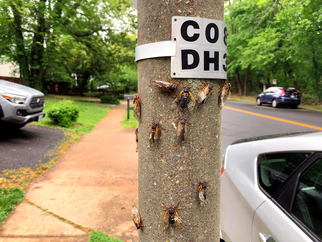 地中から出て、街灯の柱で羽化した周期ゼミ=2021年5月16日、米バージニア州アーリントン、大島隆撮影