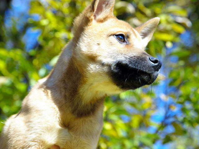 生後3カ月ごろのレオン。秋に聴導犬の候補となったことにちなみシュウ(秋)と呼ばれていた=日本聴導犬推進協会提供