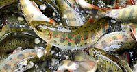 19)奈良の養殖アマゴ:パーマークと朱色の斑点が美しいアマゴ。網ですくわれ出荷されていった=奈良県野迫川村