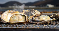 39)兵庫・相生の牡蠣:栄養をたくわえて、ぷっくりと膨れた牡蠣=兵庫県相生市