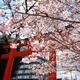 京の桜さんぽ