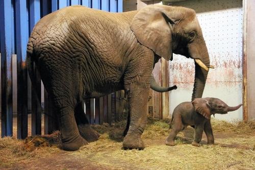 アフリカゾウの画像 p1_23