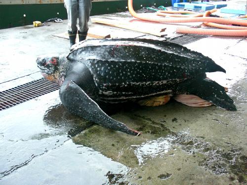 写真:室戸岬沖の大敷き網に入り保護されたオサガメ... 漁網にオサガメ 高知・室戸沖 - ニュー