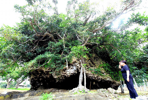 明和八重山地震や2000年前の津波など複数回の津波で打ち上げられたサンゴの塊「津波大石」。大きさは約10メートル、推定1千トン。海岸から約100メートルの所にある。3月、国の天然記念物に指定された=12日、沖縄県石垣市