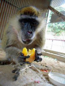 写真:好物のミカンを食べる長寿日本一のサバンナモンキー「じいじ」=大牟田市動物園提供
