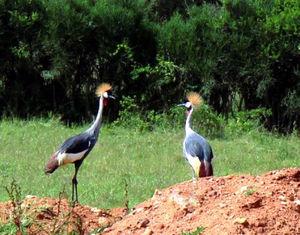 ウガンダの国鳥、ホオジロカンムリヅルのつがい